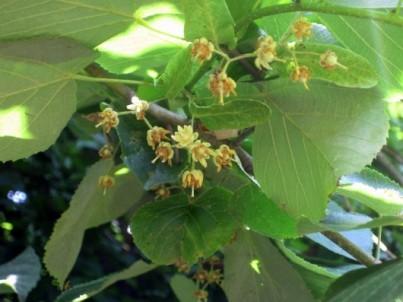 Tilia Tomentosa rimedio naturale